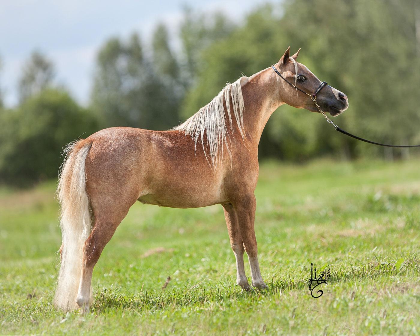 RFM Fine Arts Dream Of Sunshine - Amerikanisches Miniaturpferd