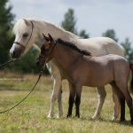 How much does an American Miniature Horse cost?