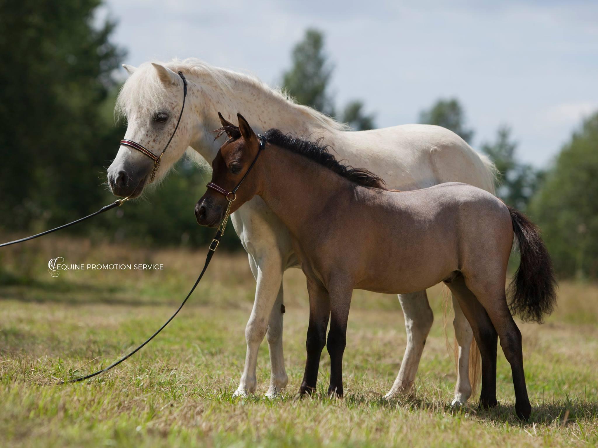 Wieviel kostet ein Amerikanisches Miniaturpferd?