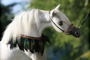 Sonoita Sizzling Mardi Gras - Amerikanisches Miniaturpferd