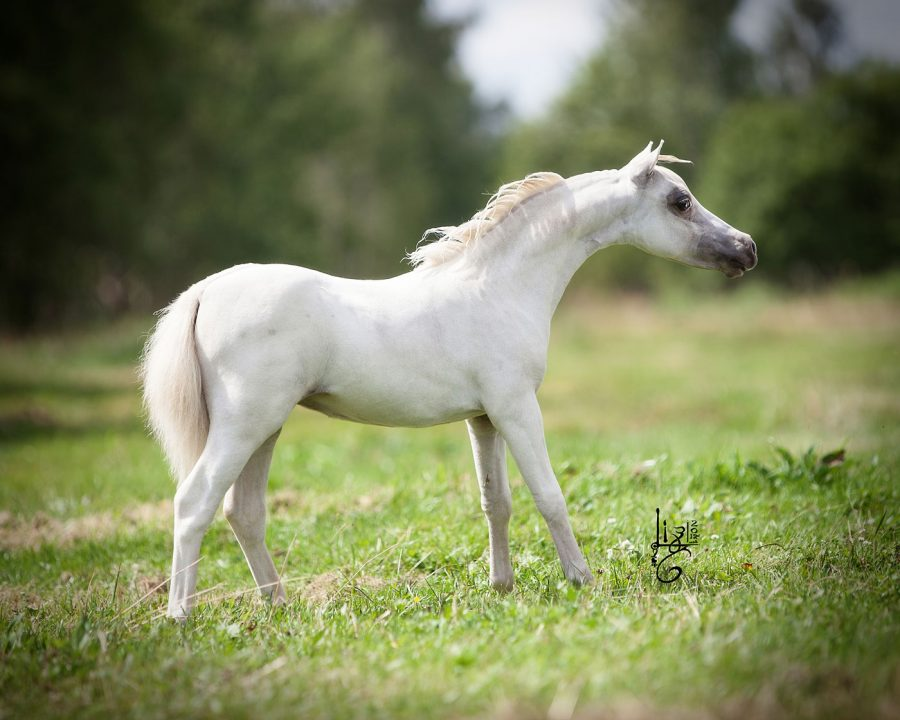 How much does an American Miniature Horse cost? 2