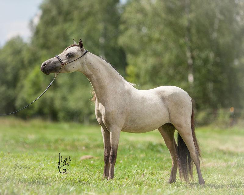 Modello Hawks B Buck Behold I Am - Amerikanisches Miniaturpferd