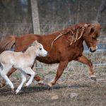 DelSastre Master's Moon Glow - American Miniature Horse