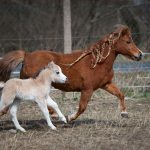 Our first Miniature Horse foal was born