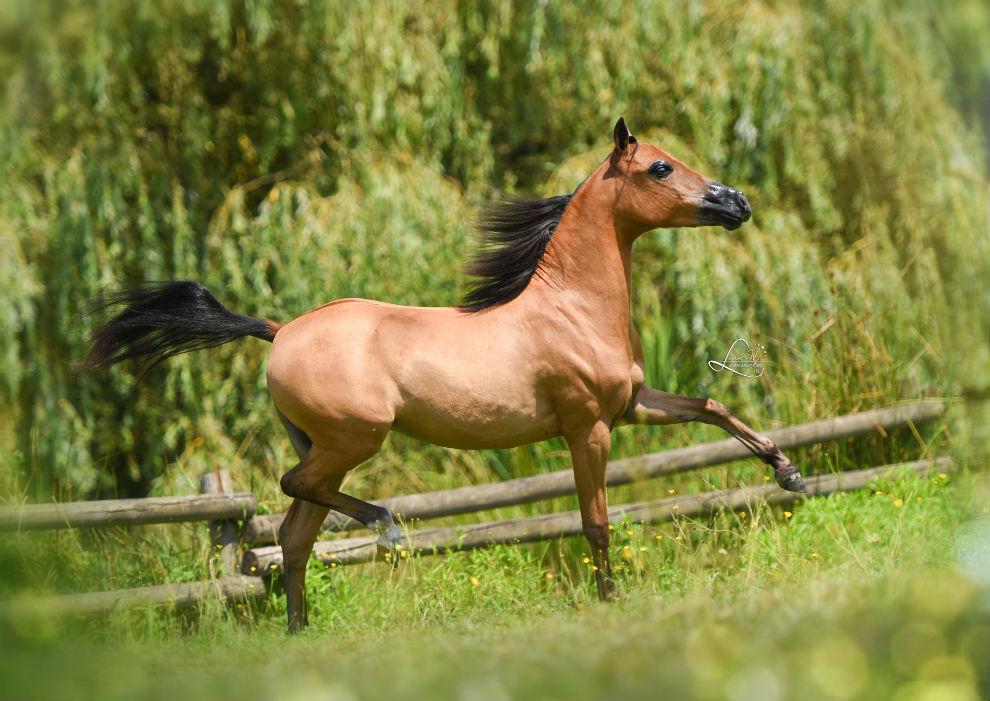 Die Haltung von Amerikanischen Miniaturpferden 1