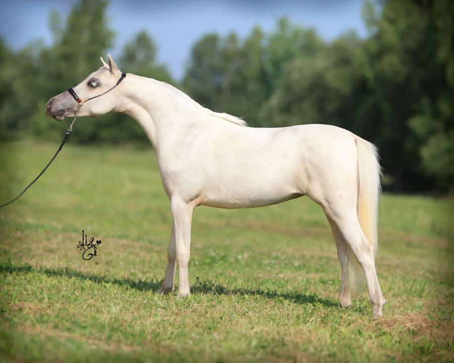 DelSastre Al Attal Hawk Krystal, AMHA/AMHR mare