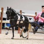 American Shetland Pony in Roadster
