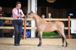 Little Kings in Fashion - AMHR Junior Champion Mare Over