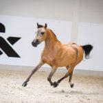 American Miniature Horse in Liberty class