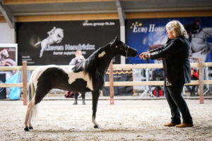 American Shetland Pony in AMHR Aged Mare 3 & Older Over 34 up to 38