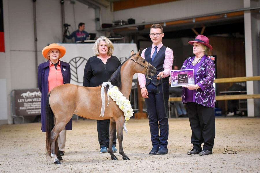 American Miniature Horse winning Supreme
