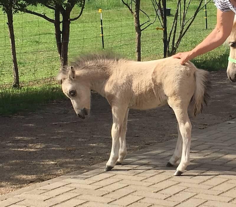 Miniaturpferde-Fohlen 2019