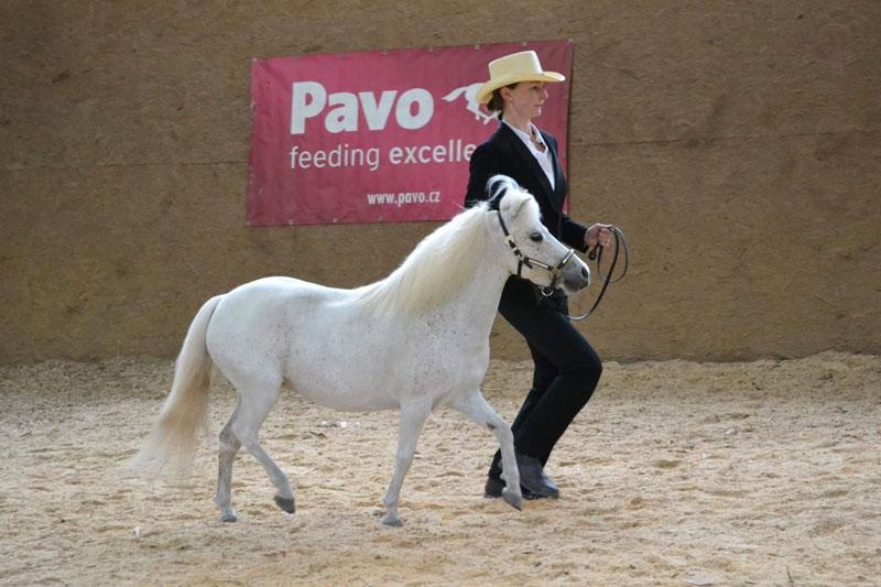 American Miniature Horse - Amerikanisches Miniaturpferd zu verkaufen