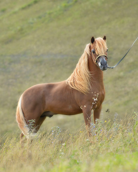Oak Bay Mi Amigo, AMHA/AMHR stallion