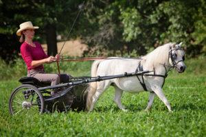 Amerikanische Miniaturpferde zu verkaufen 8