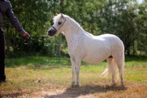 Amerikanische Miniaturpferde zu verkaufen 1