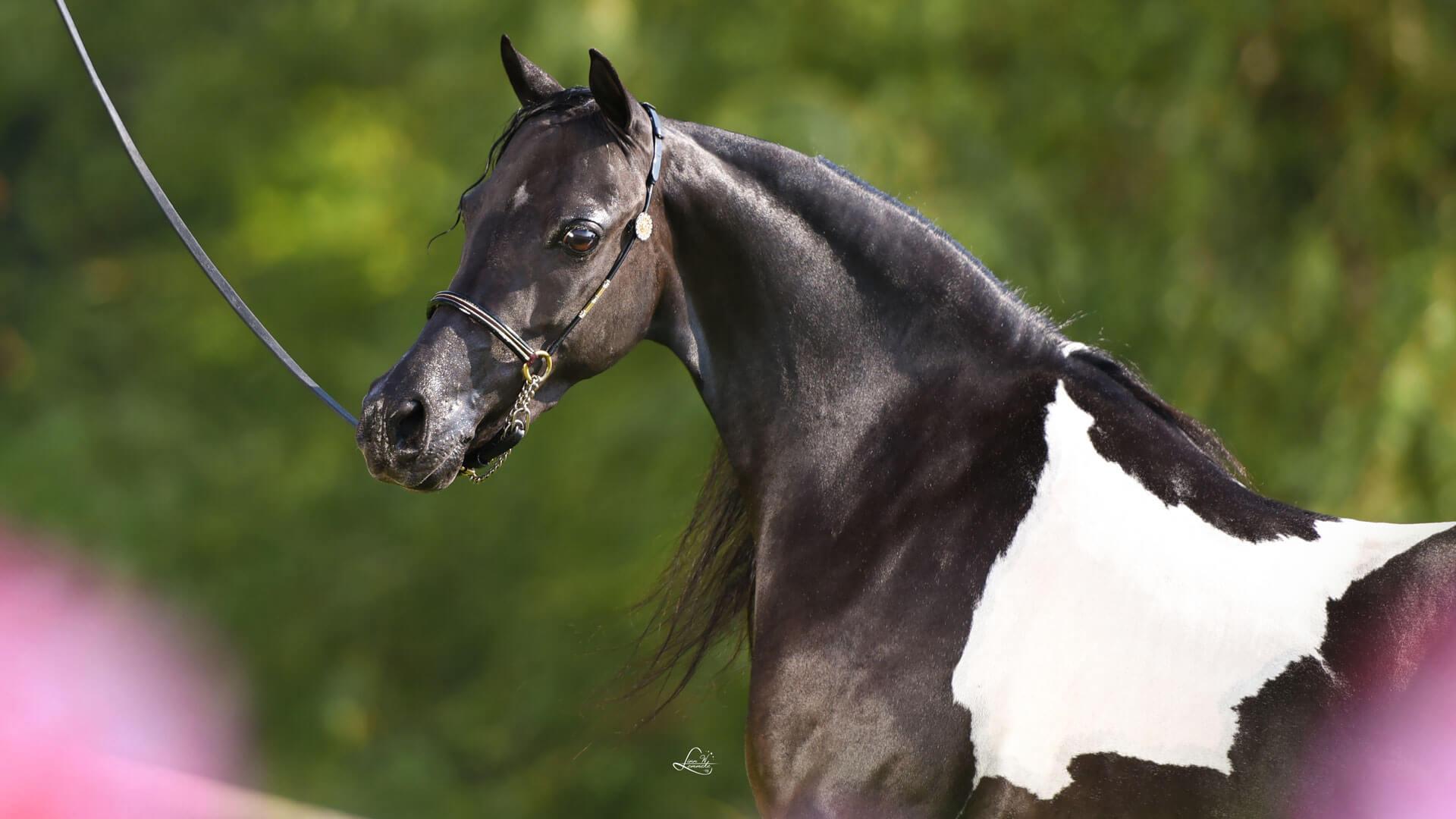 American Shetland Pony mare