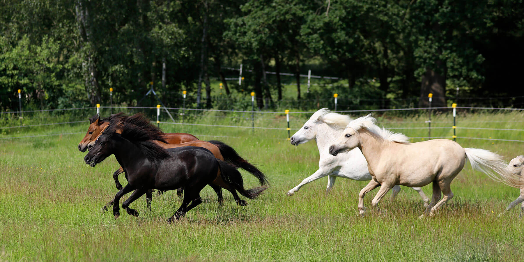 American Miniature Horses for sale in Germany 1