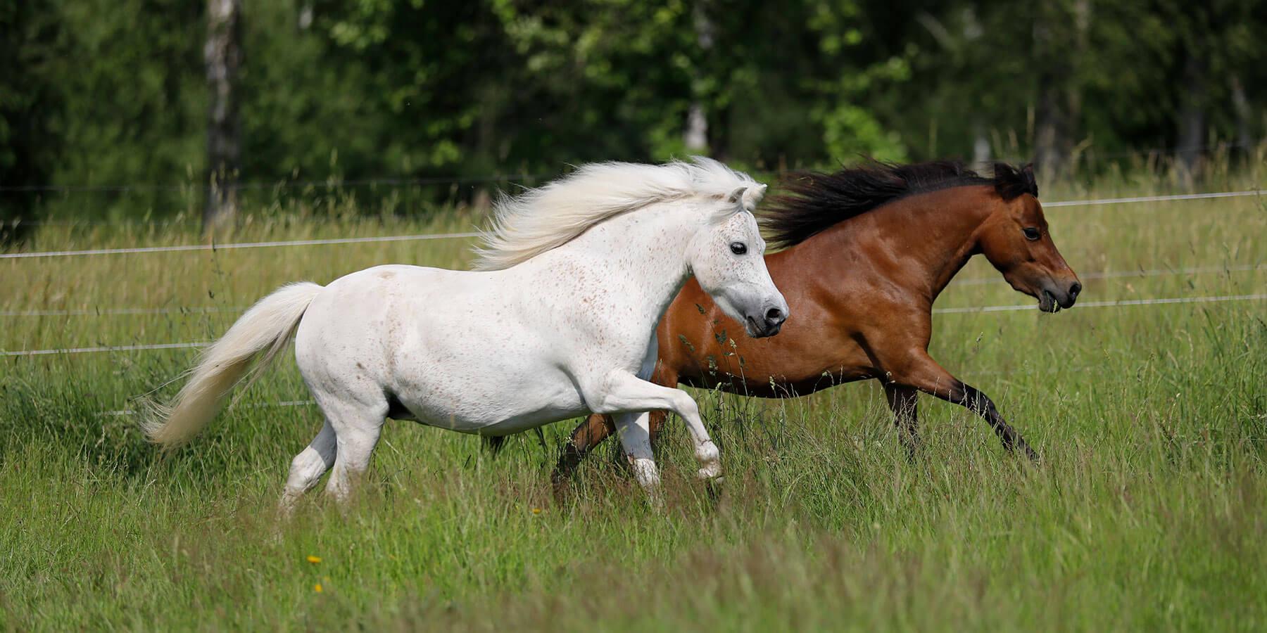 American Miniature Horse mares