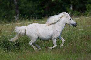 Amerikanische Miniaturpferde zu verkaufen 12