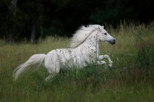 Amerikanische Miniaturpferde zu verkaufen 5