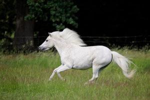 Amerikanische Miniaturpferde zu verkaufen 2