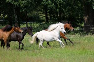 Amerikanische Miniaturpferde zu verkaufen 4