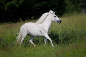 Amerikanische Miniaturpferde zu verkaufen 9