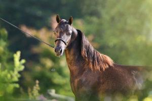 Amerikanische Miniaturpferde zu verkaufen 13