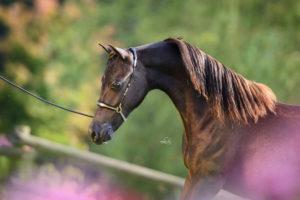 Amerikanische Miniaturpferde zu verkaufen 19