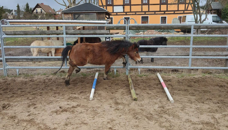 American Miniature Horse Training