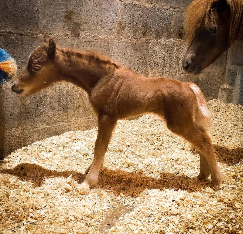 American Miniature Horse - filly