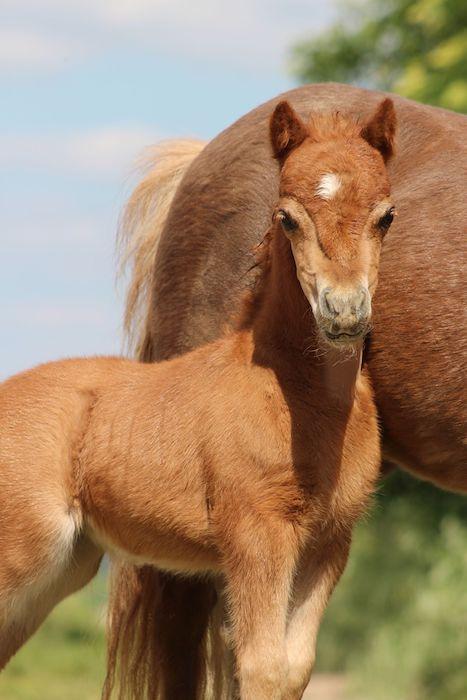 DelSastre EBF Mi Oriana, American Miniature Horse
