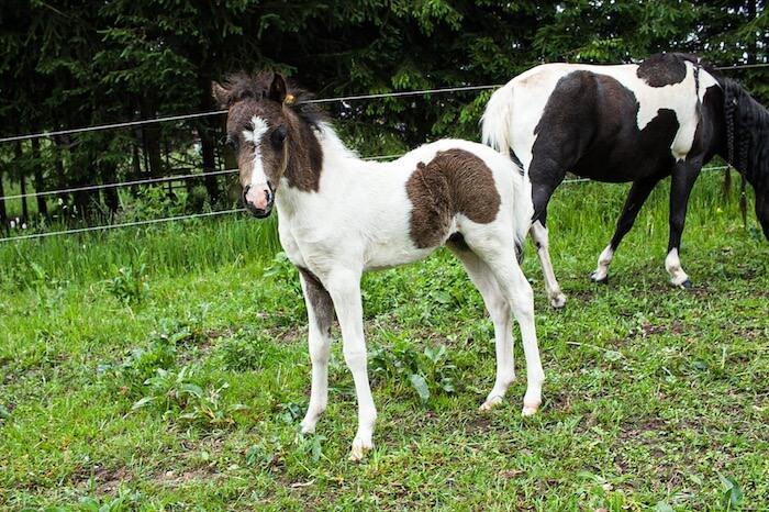 DelSastre Dakota's One In A Million, American Shetland Pony