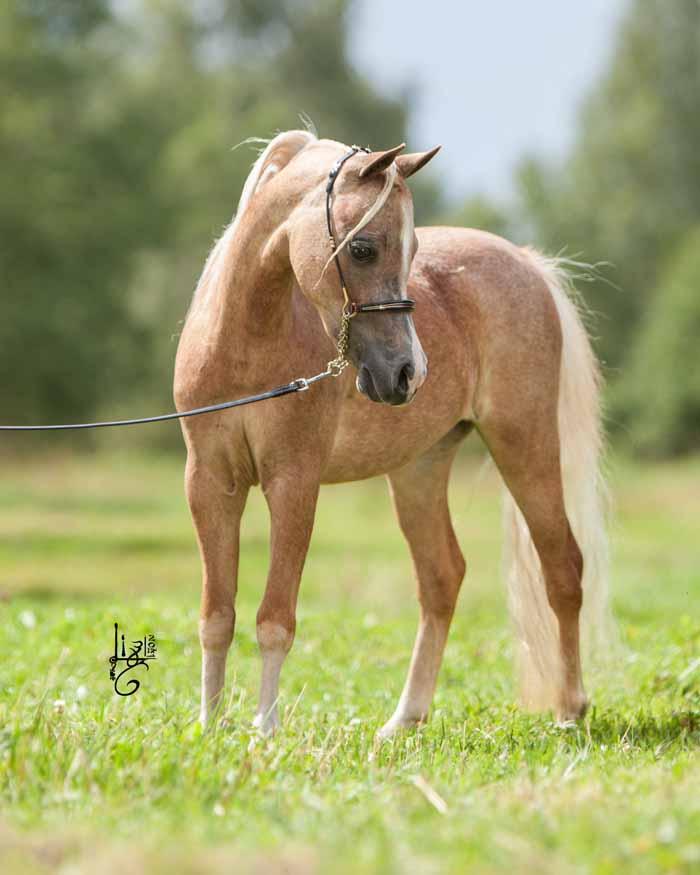 Was ist ein American Miniature Horse? 2