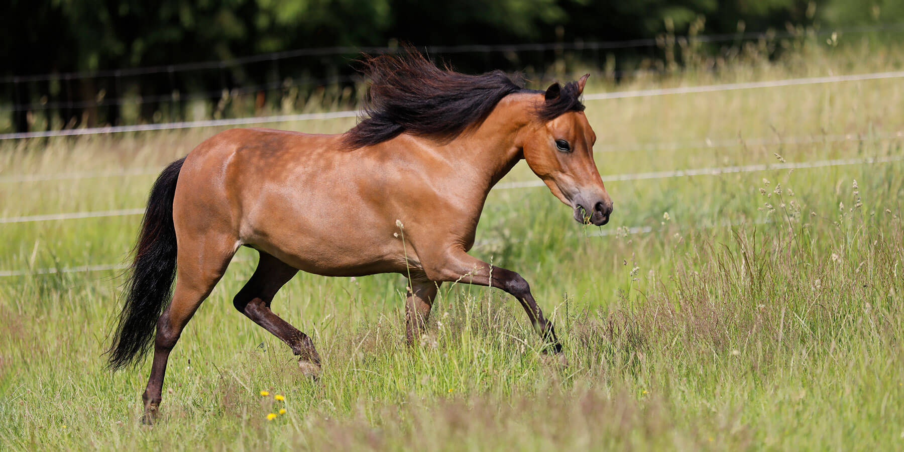Modello STR Bailamos Firenze, American Miniature Horse