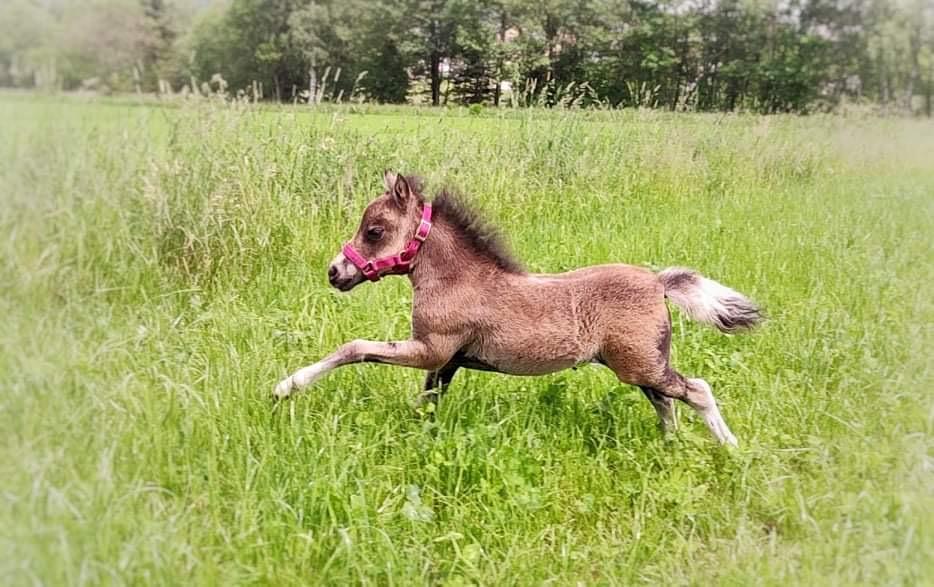 American Miniature Horse